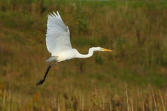 Free Great Egret. Ardea Alba. Great White Heron. Stock Photography - 95418762