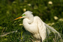 Great egret Ardea alba on green background. Stock Photography