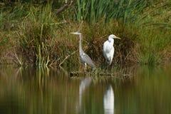 Great egret Ardea alba and Grey heron Ardea cinerea royalty free stock photo
