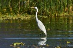 Great egret Ardea alba hunting along edge of Lake Chapala. Jalisco, Mexico stock images