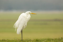 Great egret Ardea alba hunting and fishing Royalty Free Stock Image
