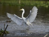 Great Egret Ardea alba landing on edge of Lake Royalty Free Stock Images