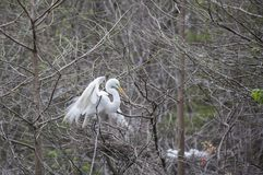 Great Egret landing in nest Royalty Free Stock Images