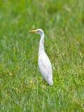 Great Egret (Ardea alba modesta). American subspecies royalty free stock image