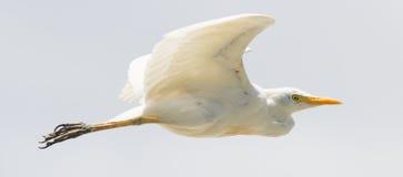 Great Egret (Ardea alba modesta). American subspecies royalty free stock photos