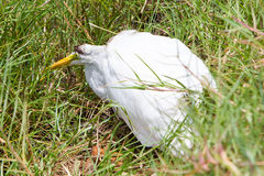 Great Egret (Ardea alba modesta) dying. Great Egret (Ardea alba modesta), American subspecies, dying royalty free stock images