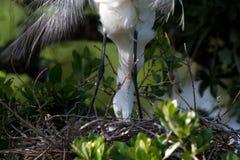 Great Egret, Ardea alba Royalty Free Stock Photography