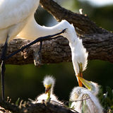 Great Egret, Ardea alba Royalty Free Stock Photos