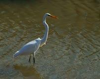 Great Egret. (Ardea alba)near Yeppoon Queensland Royalty Free Stock Image
