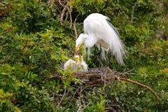 Great Egret (Ardea alba) Stock Image