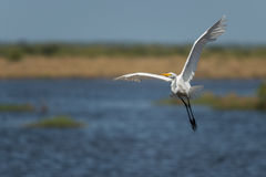 Great egret Ardea alba Stock Photos