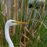 Great Egret, Ardea alba Stock Image