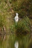 Great egret Ardea alba stock images