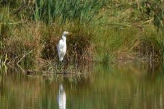 Great egret Ardea alba stock photo