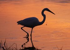 Great Egret silhouetted in a lagoon at sunset - Estero Island, F. Great Egret Ardea alba silhouetted in a lagoon at sunset - Estero Island, Florida Royalty Free Stock Photos