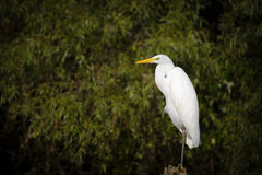 Great egret (Ardea alba). Sitting on a branch Royalty Free Stock Images
