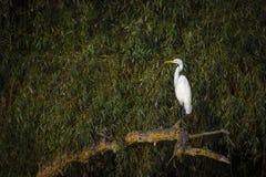 Great egret (Ardea alba) Royalty Free Stock Photos