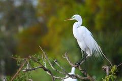 Great Egret (Ardea alba) stock photos