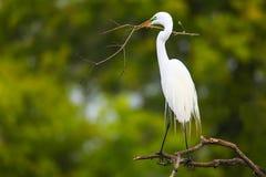 Great Egret (Ardea alba) royalty free stock photography