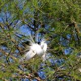 Great Egret, Ardea alba Royalty Free Stock Photo