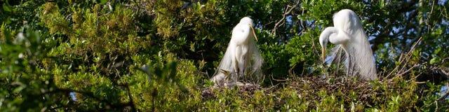 Great Egret, Ardea alba Stock Images