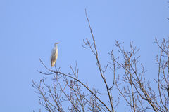 Great Egret (Ardea alba) standing on a branch Stock Photography