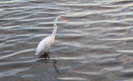 Great Egret (Ardea alba) Royalty Free Stock Image