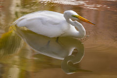 Great Egret, Ardea alba, swims Royalty Free Stock Photos