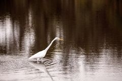 Great egret Ardea alba in the wetland and marsh at the Myakka Ri. Ver State Park in Sarasota, Florida, USA Royalty Free Stock Photography