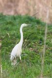 Great Egret Ardea alba Great White Egret, Common Egret. Wildlife royalty free stock images