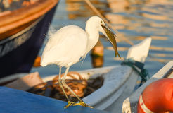 The Great Egret  Ardea alba . White heron eating fish on a boat in marina. Stock Photos