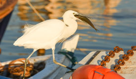 The Great Egret  Ardea alba . White heron eating fish on a boat in marina. Stock Image