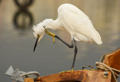 The Great Egret  Ardea alba . White heron standing on a boat in marina. Stock Images