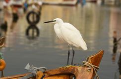 The Great Egret  Ardea alba . White heron standing on a boat in marina. Stock Photos