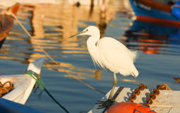 The Great Egret  Ardea alba . White heron standing on a boat in marina. Royalty Free Stock Image