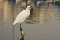 The Great Egret  Ardea alba . White heron standing on a stump in marina. Stock Photo