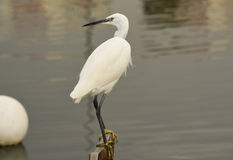 The Great Egret  Ardea alba . White heron standing on a stump in marina. Royalty Free Stock Image