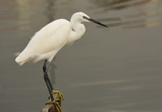 The Great Egret  Ardea alba . White heron standing on a stump in marina. Stock Image