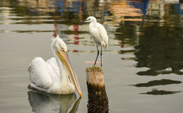 The Great Egret  Ardea alba . White heron standing on a stump in marina. There is a pelican on the sea. Stock Photo