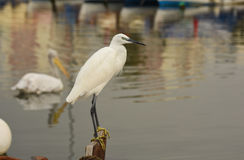 The Great Egret  Ardea alba . White heron standing on a stump in marina. There is a pelican on the sea. Royalty Free Stock Photo