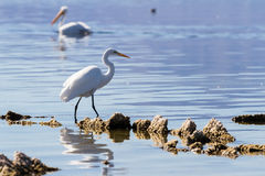 Great Egret (Ardea alba) Stock Photography