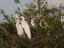 Great egret (Ardea alba) Stock Photography
