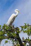 Great Egret Atop Tree Royalty Free Stock Images