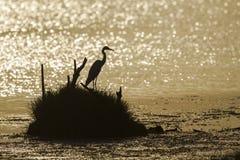 Great egret backlit in sunrise, Sri Lanka Royalty Free Stock Images