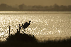 Great egret backlit in sunrise, Sri Lanka Royalty Free Stock Image