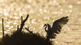 Great egret backlit in sunrise, Sri Lanka Royalty Free Stock Photos