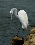 Great Egret. With beautiful plumage Stock Photography