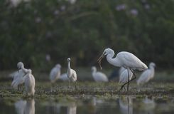 The Great Egret with big Fish. In the morning stock photography