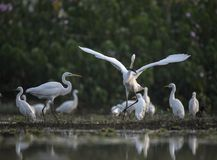The Great Egret with big Fish. In the morning stock image