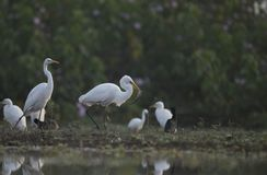 The Great Egret with big Fish. In the morning royalty free stock images